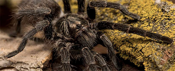 Baboon Spider Atlas