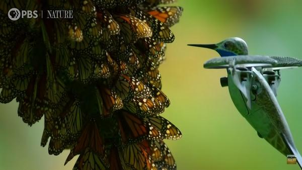farfalle monarca drone colibrì