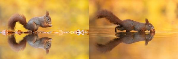 scoiattolo salta acqua