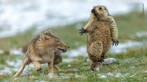 wildlife photographer of the year 2019 marmotta